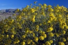 Woestijn Wildflowers Royalty-vrije Stock Afbeeldingen