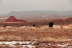 Woestijn zwarte Angus Stock Afbeeldingen