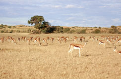 Woestijnantilope Stock Foto