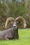 Woestijnbighorn Ram Bedded Royalty-vrije Stock Foto's
