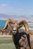 Woestijnbighorn Ram Portrait Stock Afbeeldingen