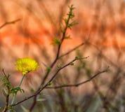 Woestijnbloem Stock Afbeeldingen