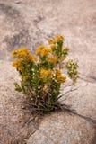 Woestijnbloem Stock Foto