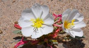 Woestijnbloemen Royalty-vrije Stock Afbeeldingen