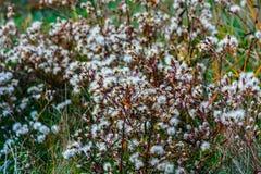 Woestijnbloemen in de Krim, Salem Stock Afbeeldingen