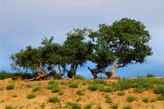 Woestijnbomen Stock Afbeelding