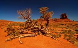 Woestijnboom in Monumentenvallei Stock Fotografie