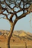 Woestijnboom in Verenigde Arabische Emiraten Royalty-vrije Stock Afbeeldingen