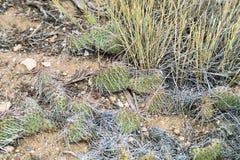 Woestijncactus Royalty-vrije Stock Afbeelding