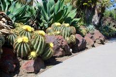 Woestijncactus stock afbeelding
