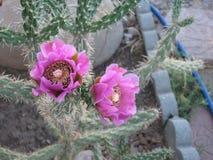 Woestijncactus in Bloei Stock Foto