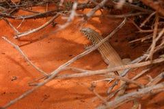 Woestijnhagedis Royalty-vrije Stock Afbeeldingen