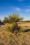Woestijninstallatie in Joshua Tree stock foto's