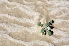 Woestijninstallatie op duin Stock Foto