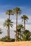 Woestijnpalmen Stock Foto's