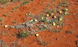 Woestijnpompoen Australië Royalty-vrije Stock Afbeelding