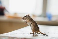 Woestijnratmuis die zich op de keukenlijst bevinden stock foto's