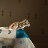 Woestijnratmuis die zich op de rand van de lijst bevinden royalty-vrije stock fotografie