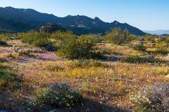 Woestijnwildflowers en bergen in de Mojave-Woestijn stock foto's
