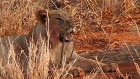 Wohlgenährte Löwen, die in der Madikwe-Spiel-Reserve stillstehen stock video footage
