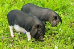 Wohlgenährter Weg des Schweins zwei auf dem Gras Lizenzfreie Stockbilder