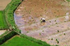 Wohlhabende Arbeit: Landwirt, der Reissämlinge in seinem Paddy fie pflanzt Lizenzfreie Stockfotos