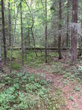 Wohlhabender Wald im Norden Stockbild