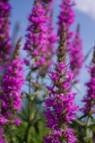 Wohlriechende Felder der purpurroten Blumen Stockbild