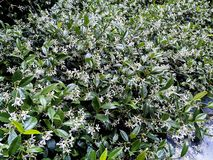 Wohlriechende Jasminblumen in einer Hecke lizenzfreies stockfoto