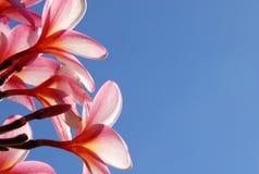 Wohlriechende Plumeria-Blume lizenzfreie stockfotos