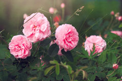 Wohlriechende Rosen des Gartenrosas Lizenzfreies Stockbild