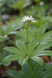Wohlriechendes Labkraut Galium odoratum Lizenzfreie Stockfotos