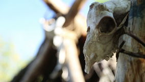 Wohnung des Stein- oder Bronzezeitalters, der Schädel und der Knochen der Tiere stock footage