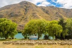 Wohnwagen und Schafe in Neuseeland Stockbilder