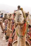 Wohnwagen von den Kamelen, die auf dem Sand sitzen lizenzfreies stockbild