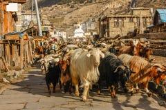 Wohnwagen von den Ziegen, die entlang Dorfstraße in Nepal gehen Stockfotografie