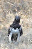 Wojenny Eagle Fotografia Stock