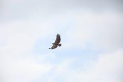 Wojenny Eagle Zdjęcia Stock