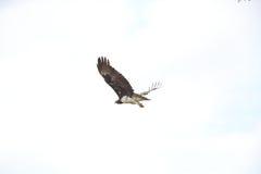 Wojenny Eagle Obraz Stock