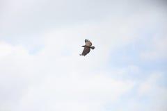 Wojenny Eagle Zdjęcie Royalty Free