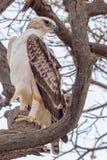 Wojenny Eagle, Niewyrobiony Zdjęcia Royalty Free