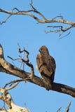 Wojenny Eagle umieszczający w nieżywym drzewie Obraz Royalty Free