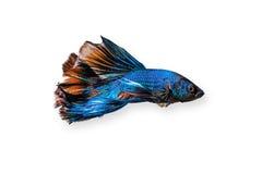 Wojownika rybiego siamese zwierzęcia domowego biały tło waży dosyć colourful tropikalny iryzuje Obraz Stock
