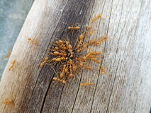 Wojsko mrówki łączą Obrazy Royalty Free