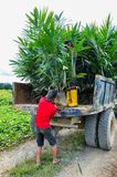 Wokers, das einen Ölpalmensämling vom Traktor nach gepflanzt auf einem Gebiet anhebt Stockfotografie