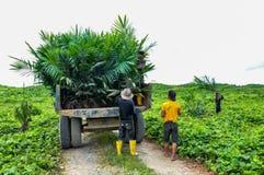 Wokers, das einen Ölpalmensämling vom Traktor nach gepflanzt auf einem Gebiet anhebt Lizenzfreie Stockbilder