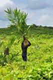 Wokers, das einen auf einem Gebiet gepflanzt zu werden Ölpalmensämling, anhebt Stockbild