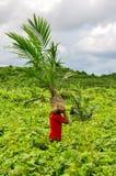 Wokers, das einen auf einem Gebiet gepflanzt zu werden Ölpalmensämling, anhebt Stockfotos
