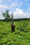 Wokers, das einen auf einem Gebiet gepflanzt zu werden Ölpalmensämling, anhebt Lizenzfreie Stockbilder