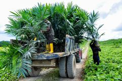 Wokers lifting a oil palm seedling from tractor to planted in a field. Wokers with oil palm seedlings in a field for planting programe Stock Photo